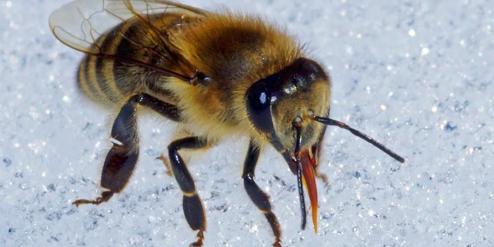 Biene im Schnee