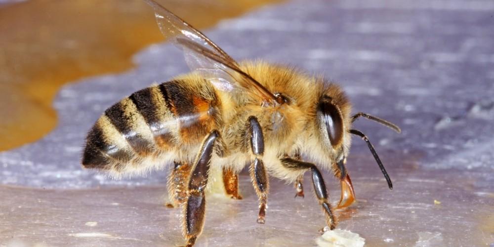 Honig schlecken